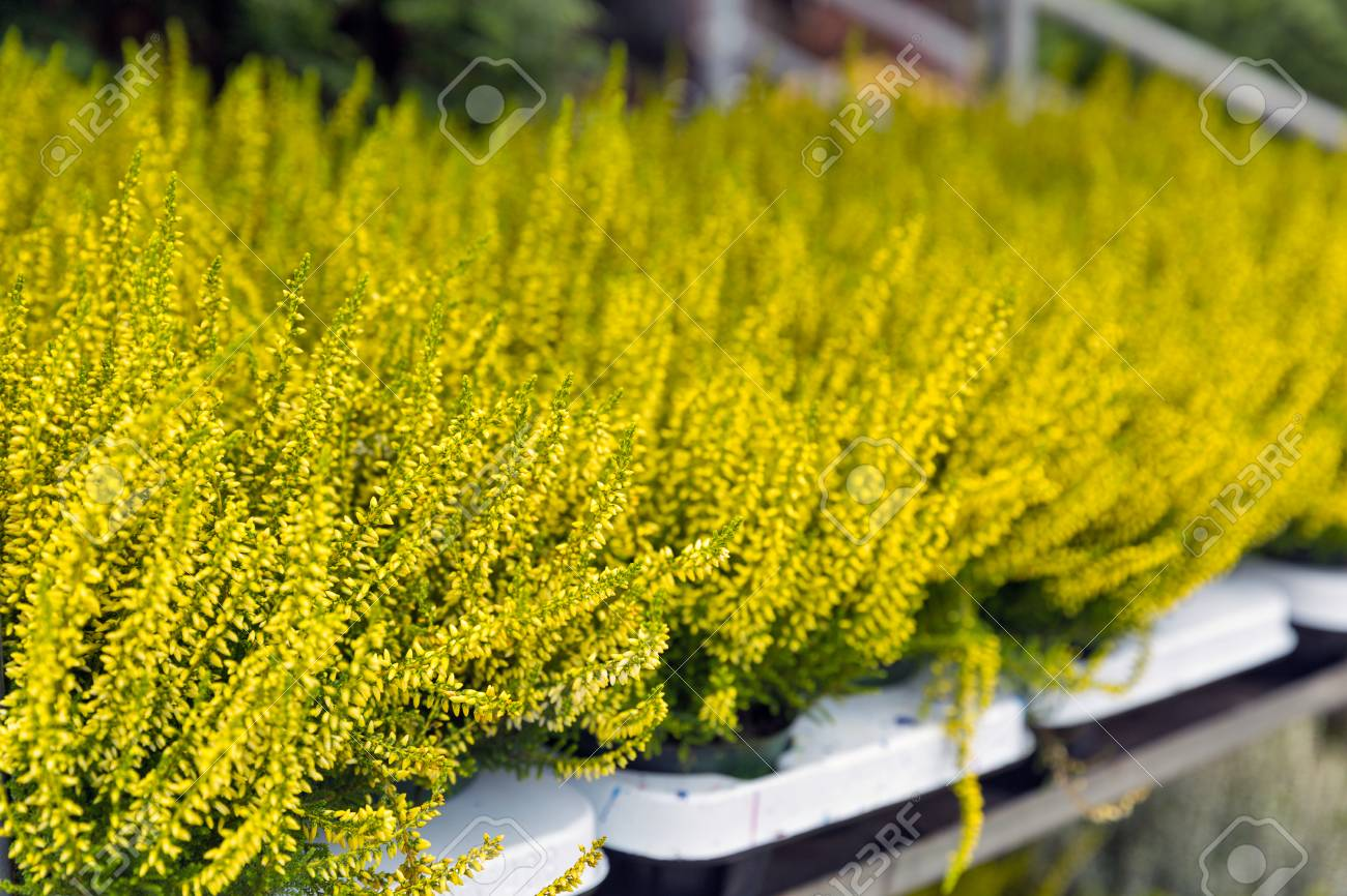 Colorful Blooming Yellow Heather Decorative Plant In Pots Closeup