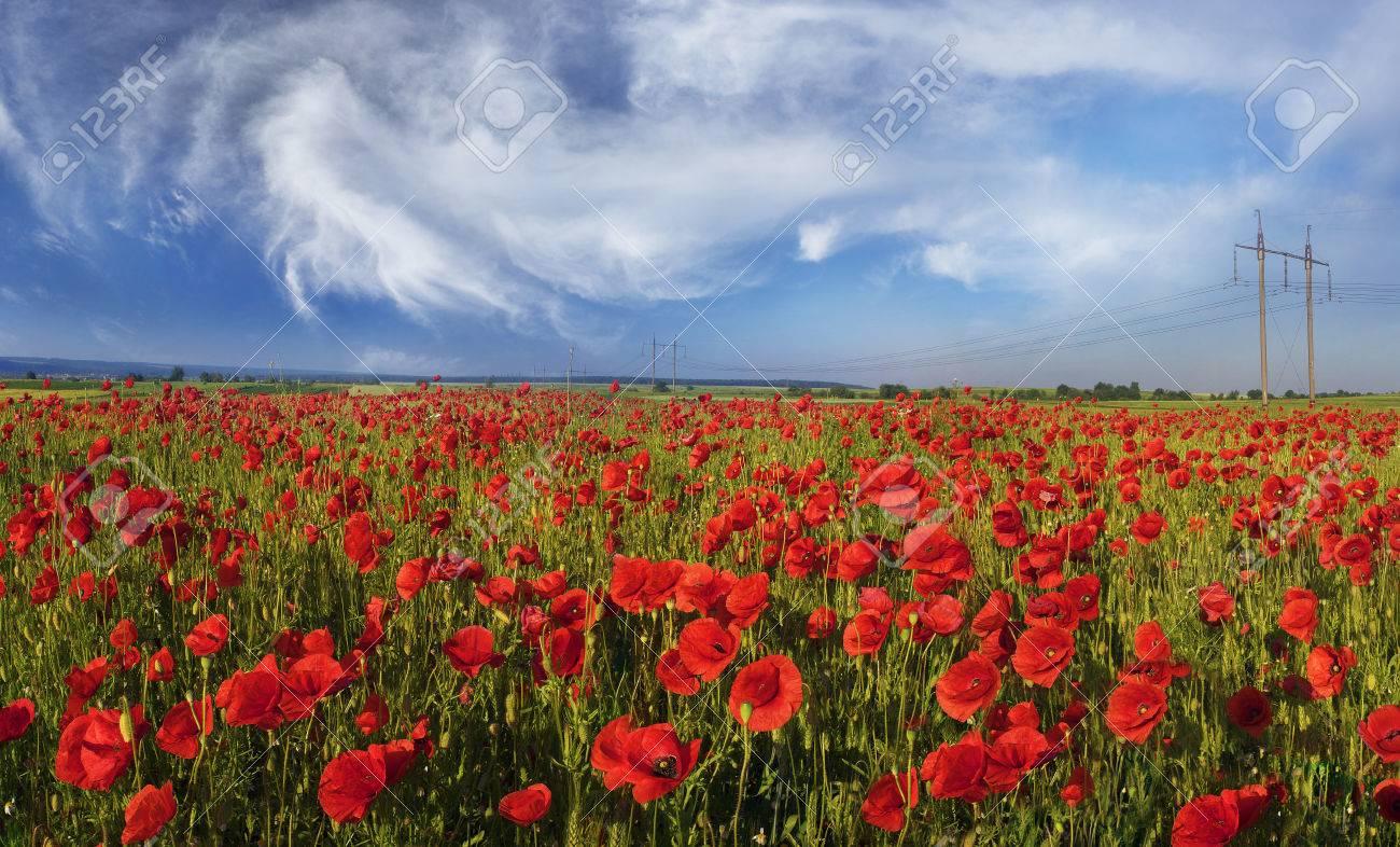 in may june in the margins of europe bloom wild poppies often