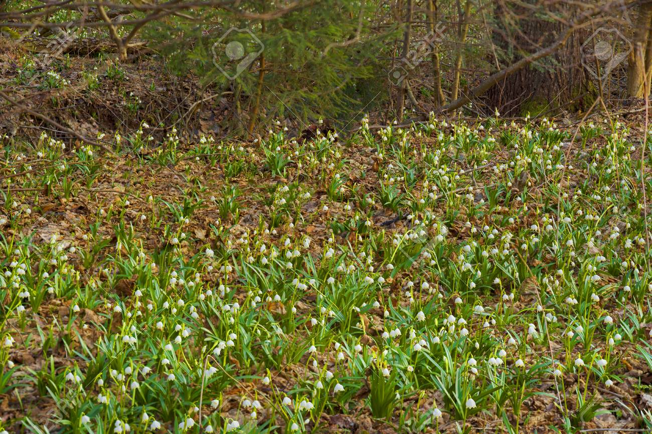 In The Spring The Snow Melts There Are First Rare Beautiful Flowers