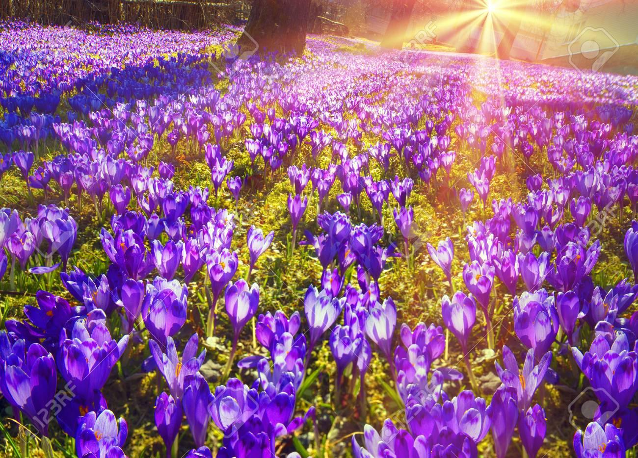 Saffron Crocus Geyfelya First Beautiful Spring Flowers Growing