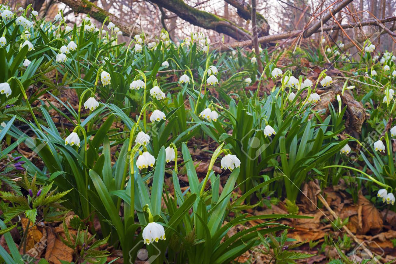Spring Rare Flowers Beautiful Snowdrop Bloom In March In Alpine