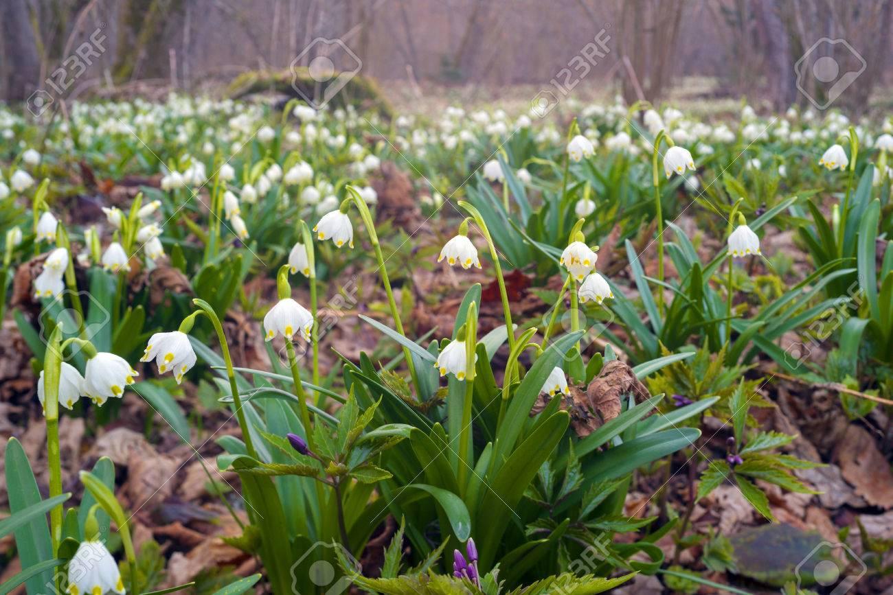 Großartig Welche Blumen Blühen Im März Galerie Von Frühling Seltene Schöne Schneeglöckchen Blühen März Alpinen