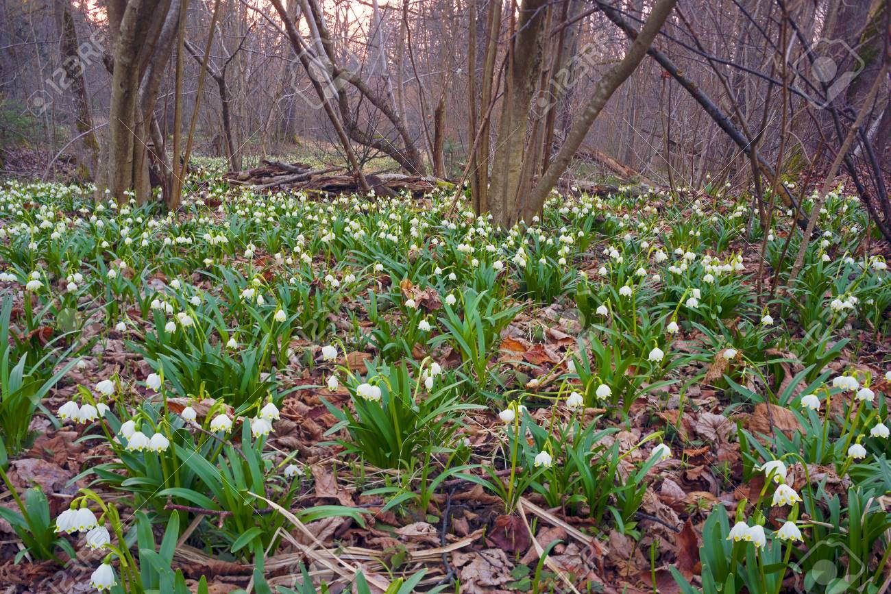 In the spring the snow melts there are first rare beautiful flowers in the spring the snow melts there are first rare beautiful flowers primroses snowdrops near swamps izmirmasajfo