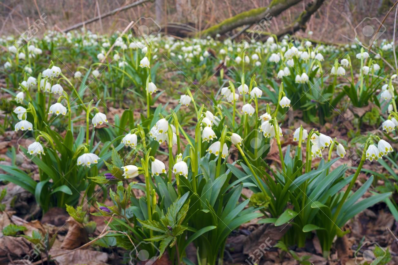 Frühling Seltene Blumen Schöne Schneeglöckchen Blühen Im März