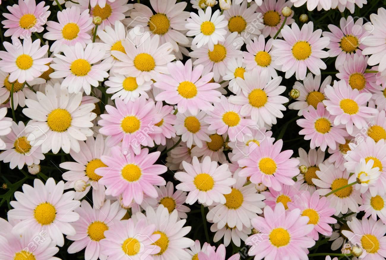 Pink and white daisies flower stock photo picture and royalty free pink and white daisies flower stock photo 40218457 izmirmasajfo