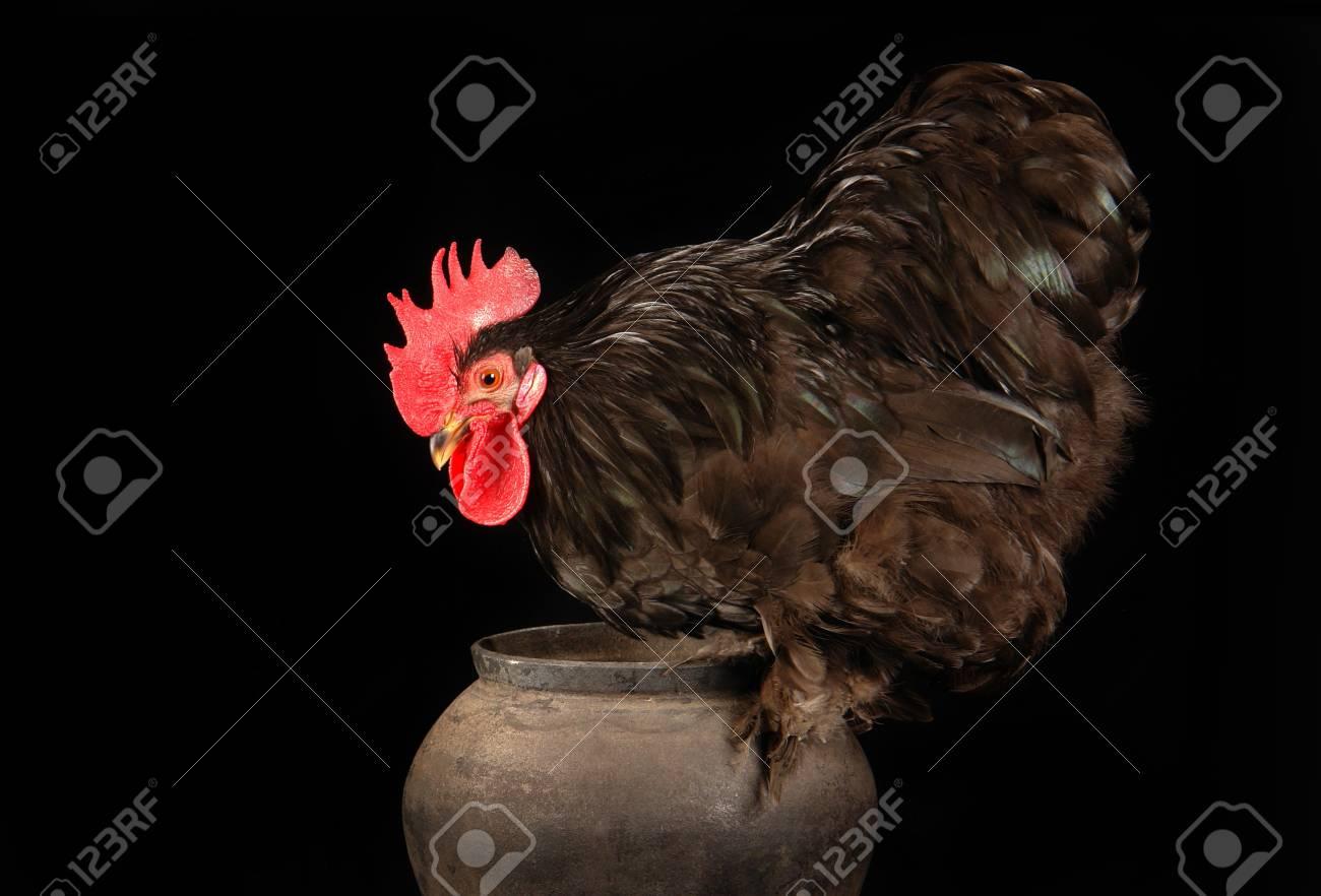 Beelden van grote zwarte hanen