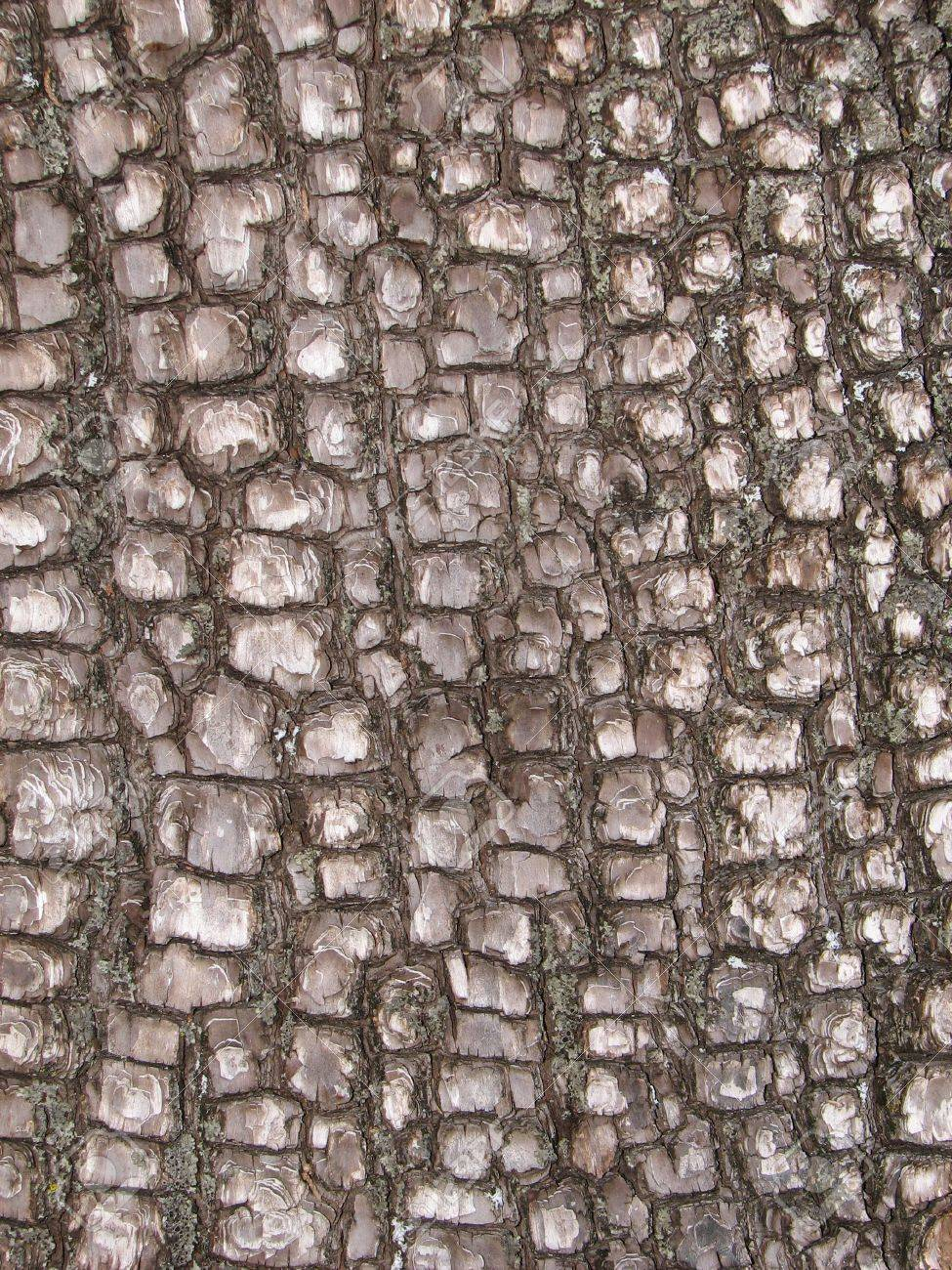 close up of Alligator Juniper ( Juniperus deppeana ) bark Stock Photo - 3287213