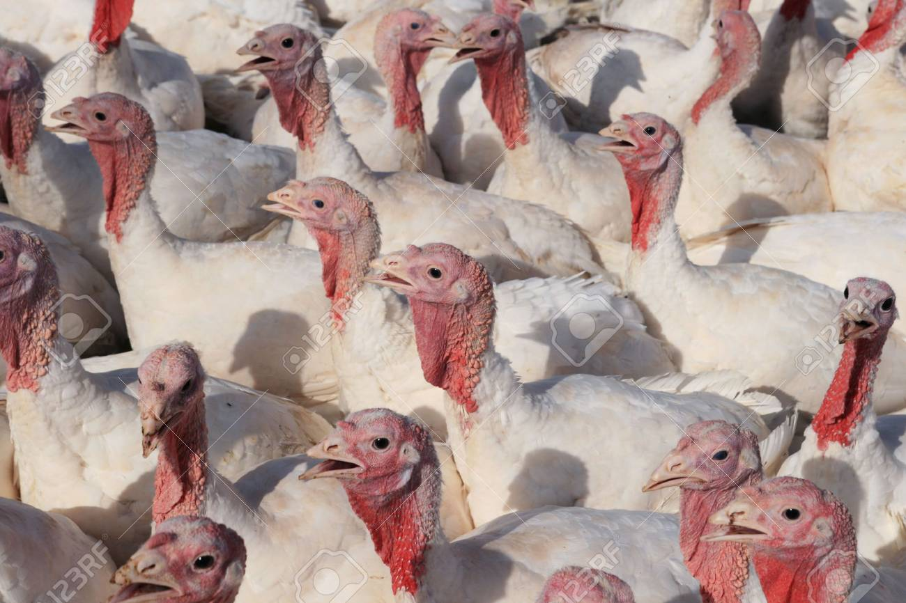 flock of domestic white tom turkeys stock photo picture and