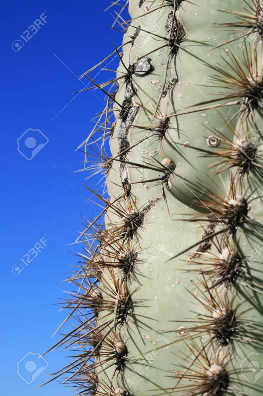 Saguaro cactus (Carnegiea gigantea) trunk Stock Photo - 3577935