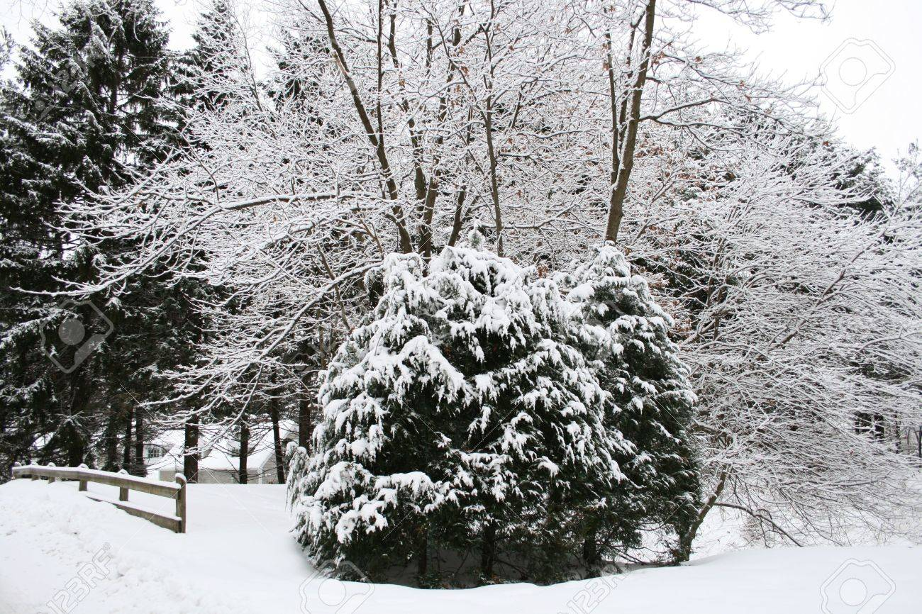 evergreen and deciduous trees with snow on the branches and ground. High contrast image. Stock Photo - 3608708