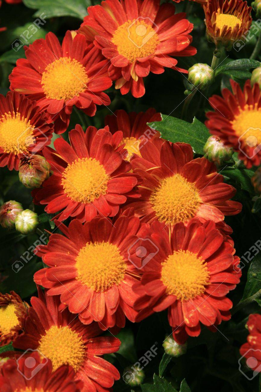 fame red garden mum chrysanthemum flowers Stock Photo - 3634167