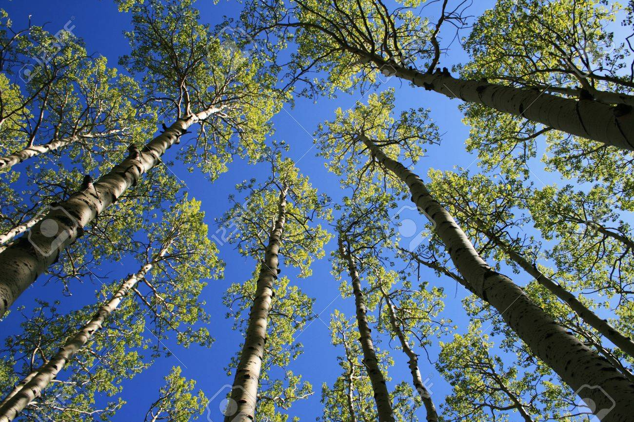 view up in aspen (Populus tremuloides) grove in the spring with fresh green leaves in the tree tops Stock Photo - 4491487