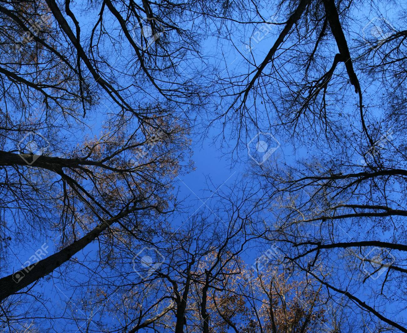 wide angle view up at the tree tops of a forest in the late fall Stock Photo - 8234419
