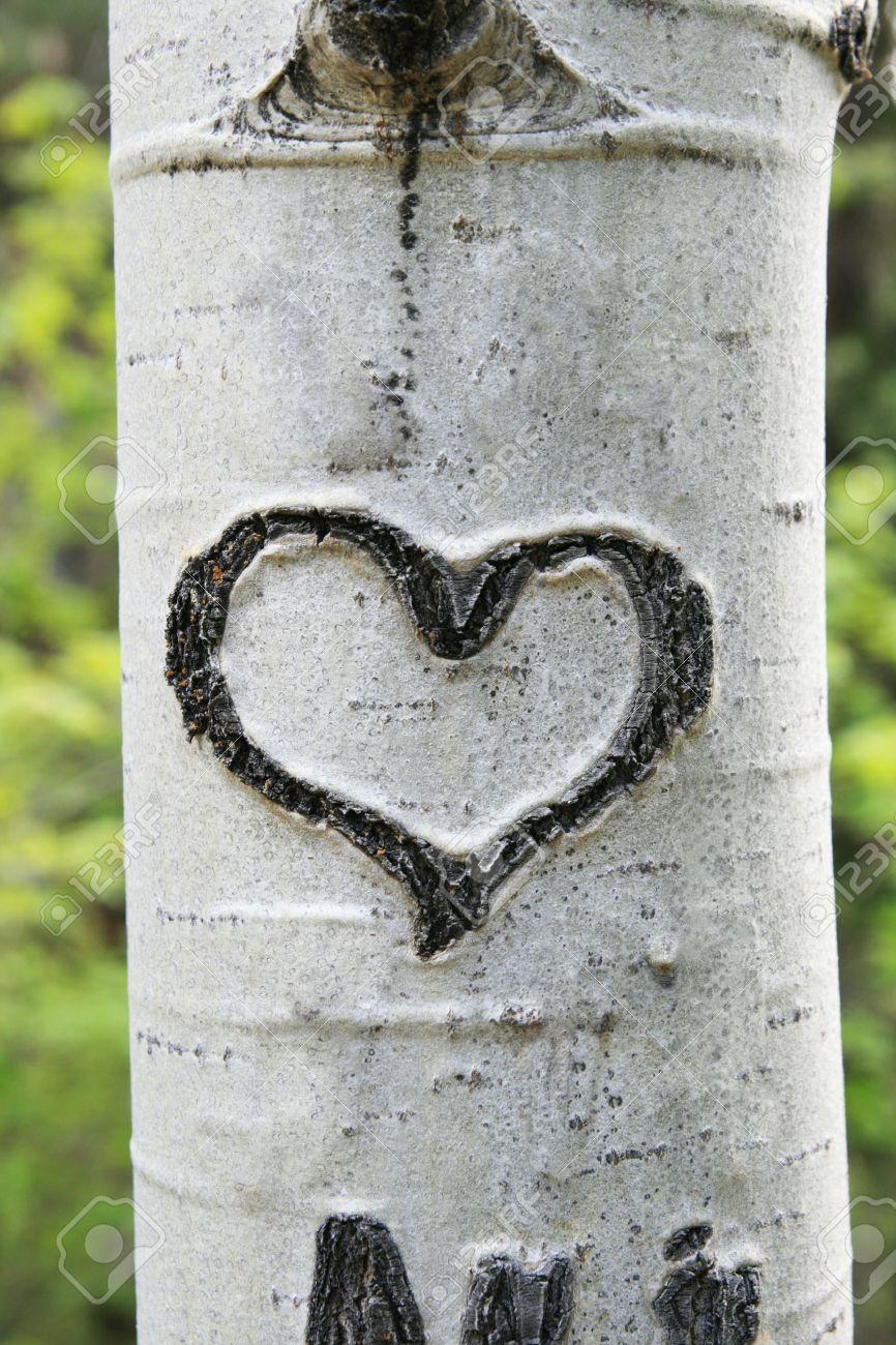 heart carved in white aspen trunk bark Stock Photo - 8495532