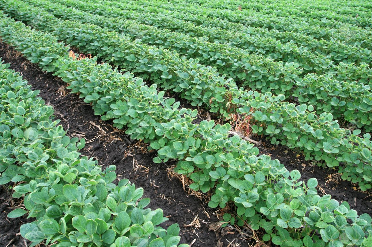 soybean field with rows of soya bean plants in dark wet soil Stock Photo - 8832091