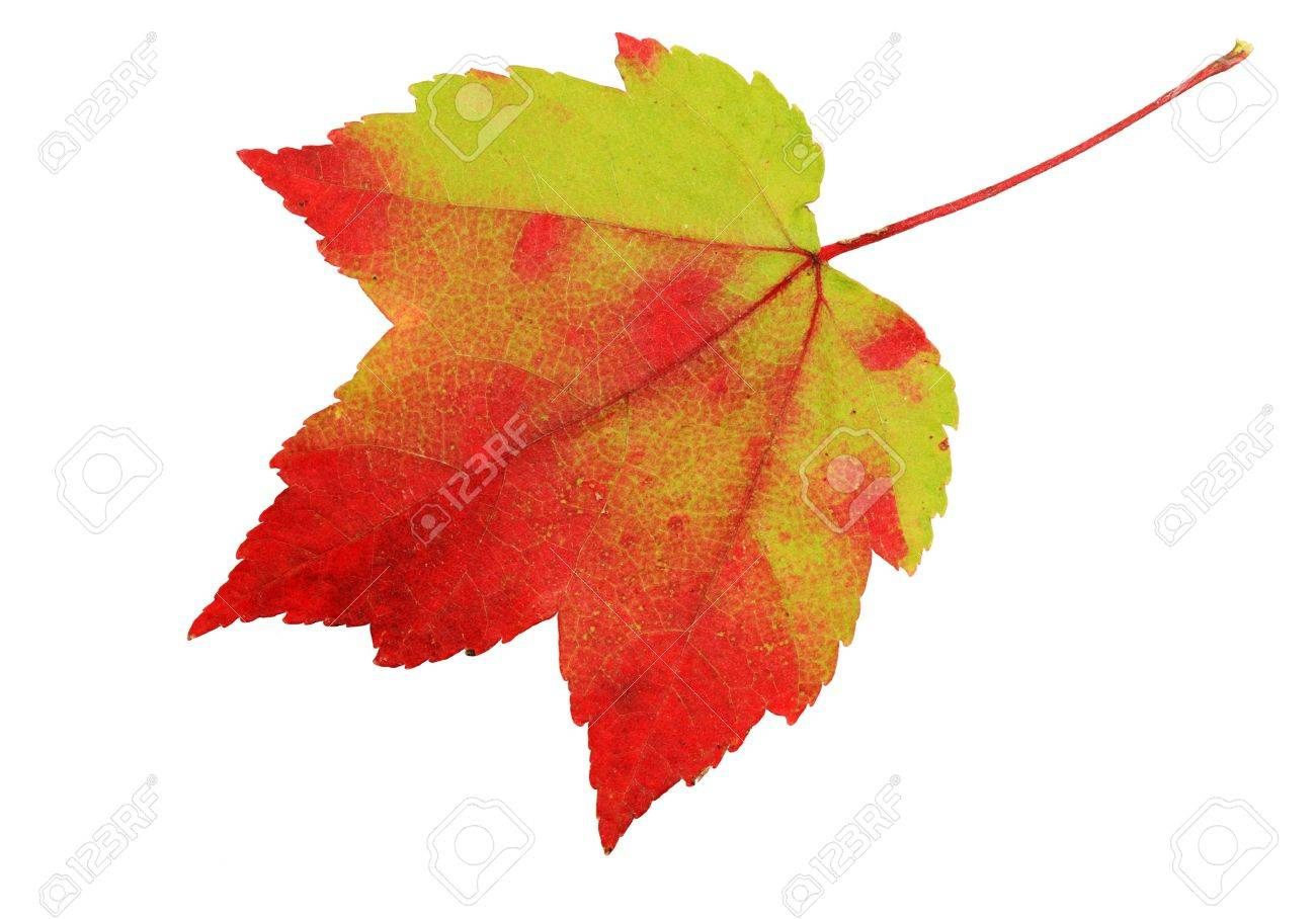 red and green maple leaf isolated on white background Stock Photo - 10889964