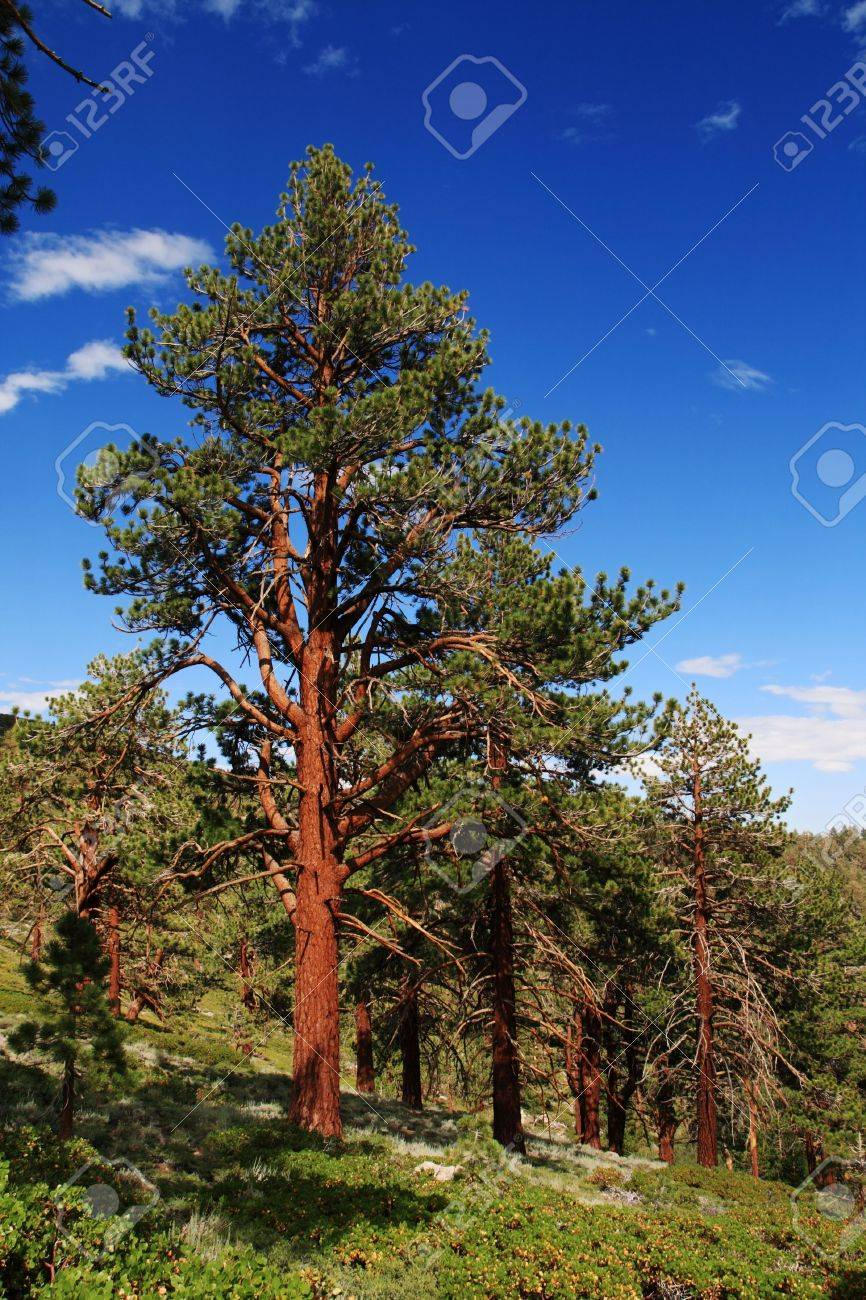 Ponderosa Pine tree on the eastern slope of the Sierra Nevada Mountains Stock Photo - 11731426