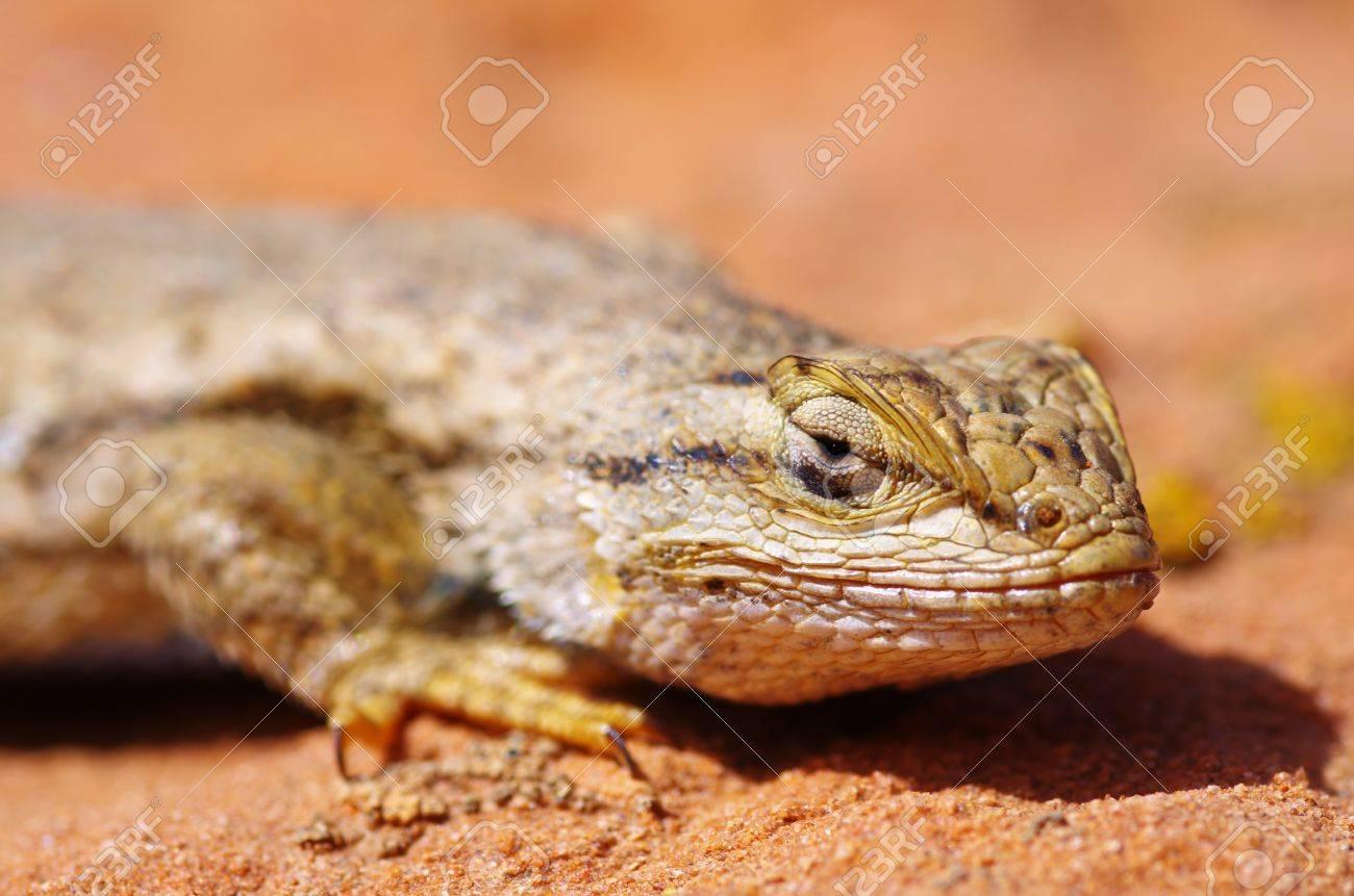 macro of the head of a western fence lizard Sceloporus occidentalis Stock Photo - 13091674