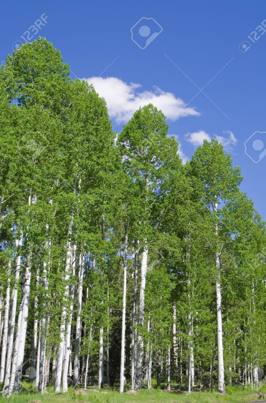 grove of aspen trees in the spring with blue sky and white cloud Stock Photo - 13982777