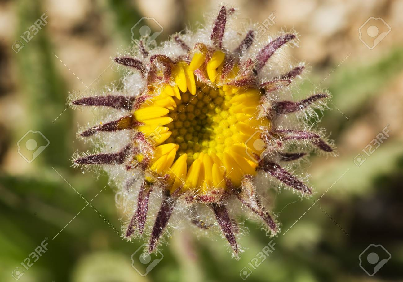 macro image of Hulsea algida or Alpine gold yellow wildflower bud opening up Stock Photo - 16766119