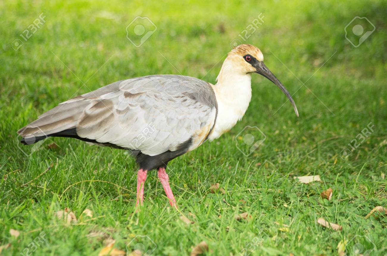 black faced ibis Theristicus melanopis standing on a grassy field Stock Photo - 20427777