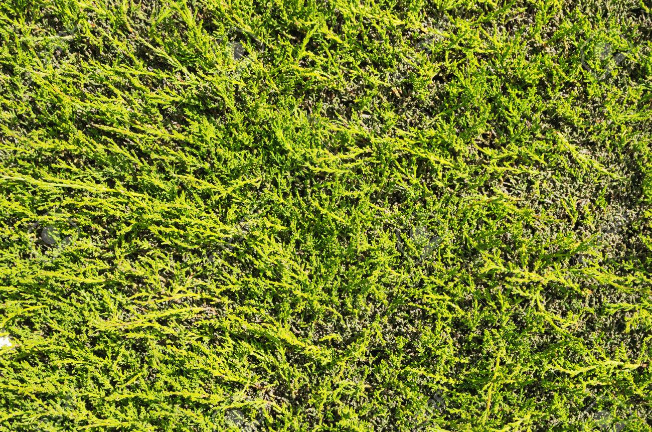 Flat Green Juniper Hedge Background Texture Stock Photo Picture And