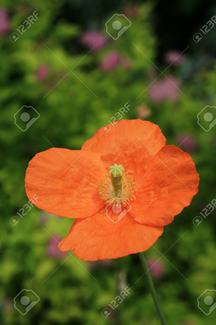 Single Orange Poppy Flower With Out Of Focus Flowers In The