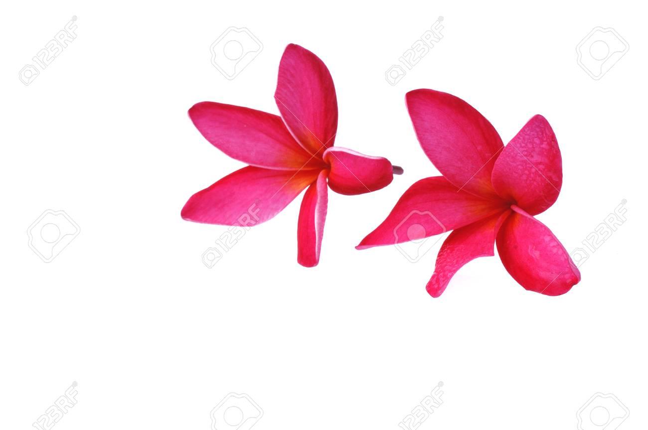 Frangipani flower isolated on white background Stock Photo - 14096524