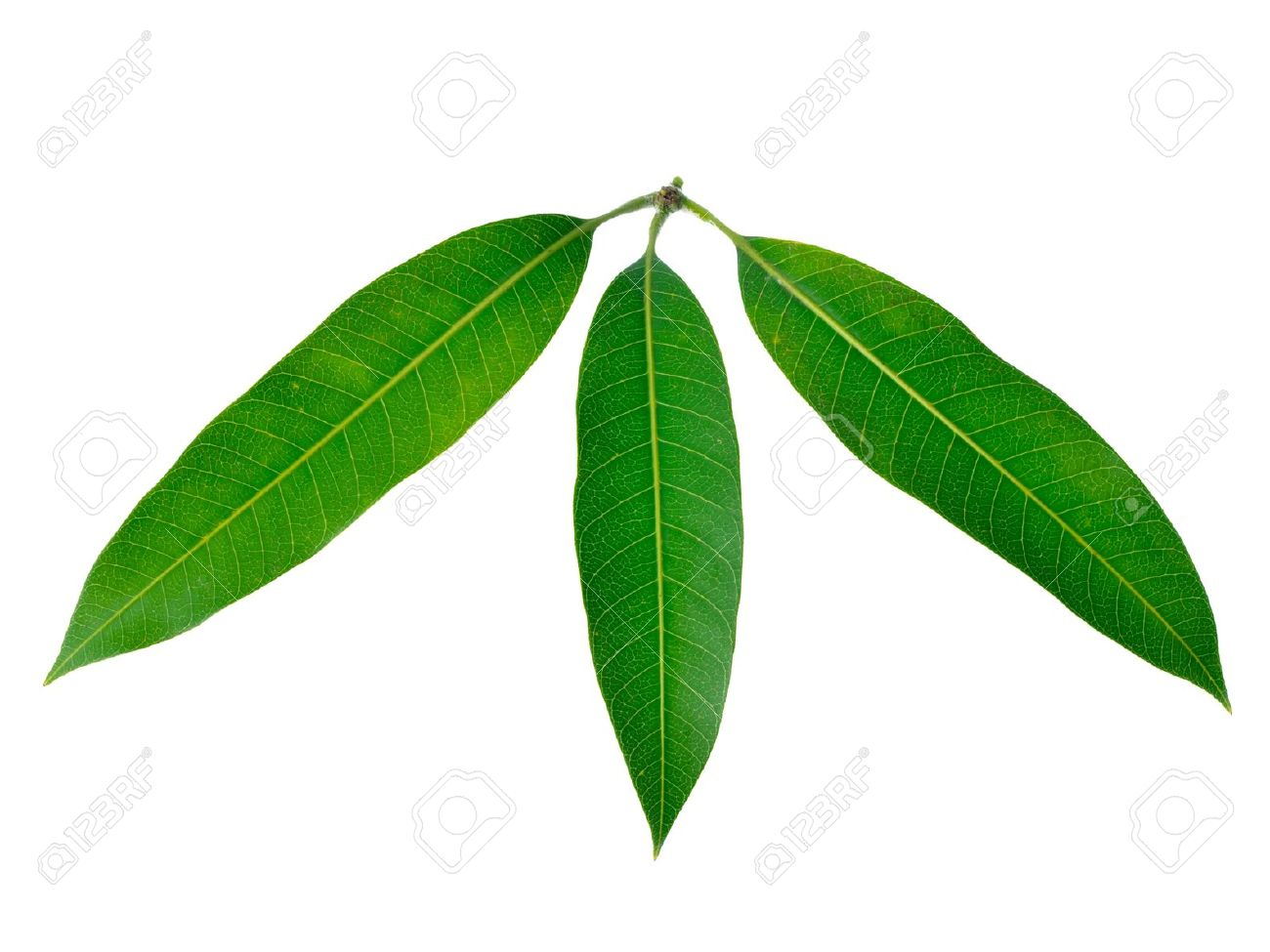 Image result for images of mango leaves