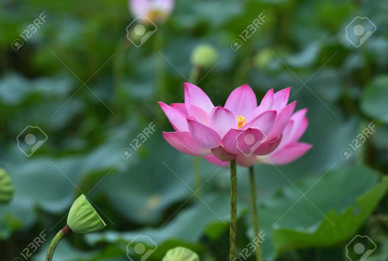 Lotus flower blossom stock photo picture and royalty free image lotus flower blossom stock photo 82767077 izmirmasajfo