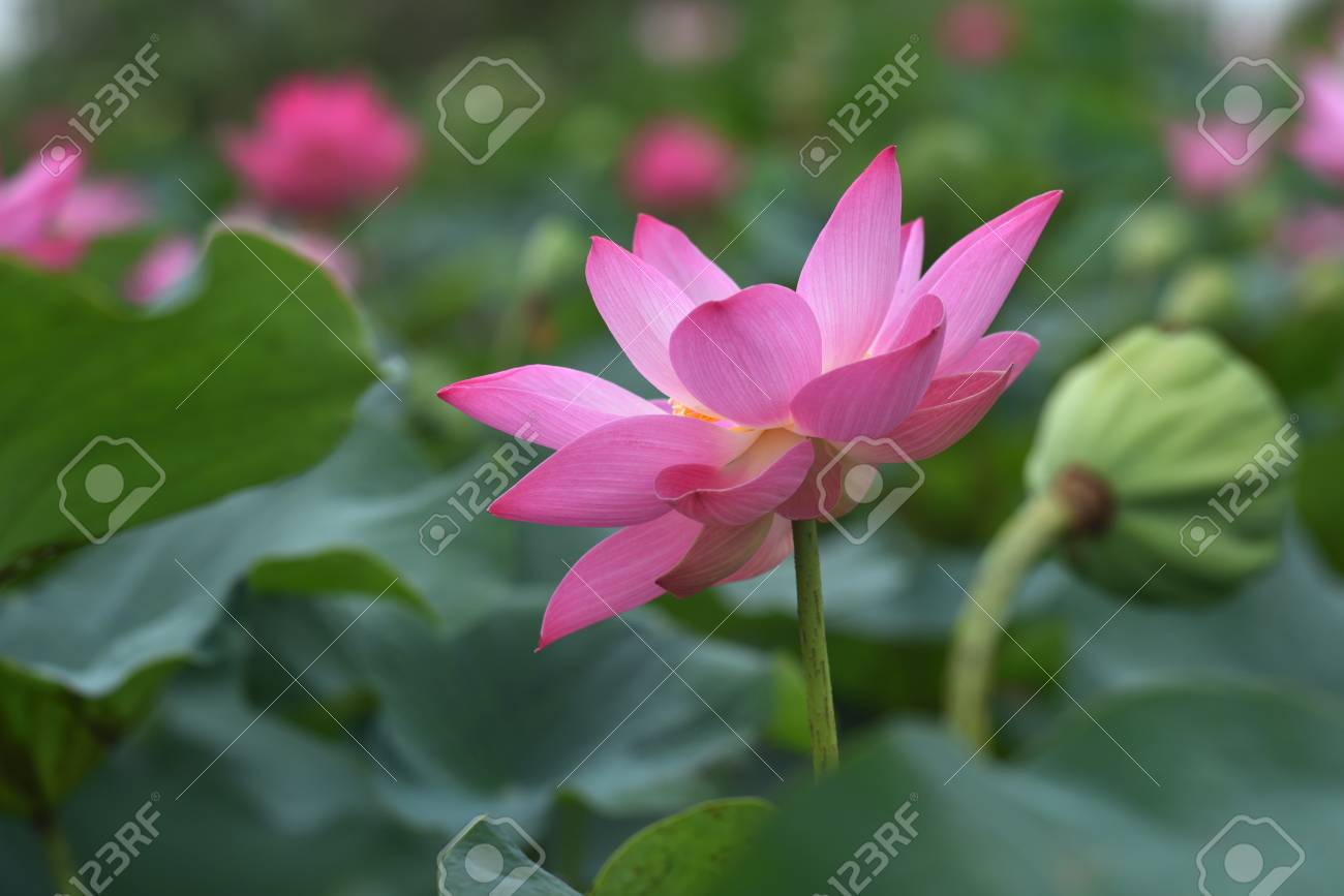 Lotus flower blossom stock photo picture and royalty free image lotus flower blossom stock photo 82767751 izmirmasajfo