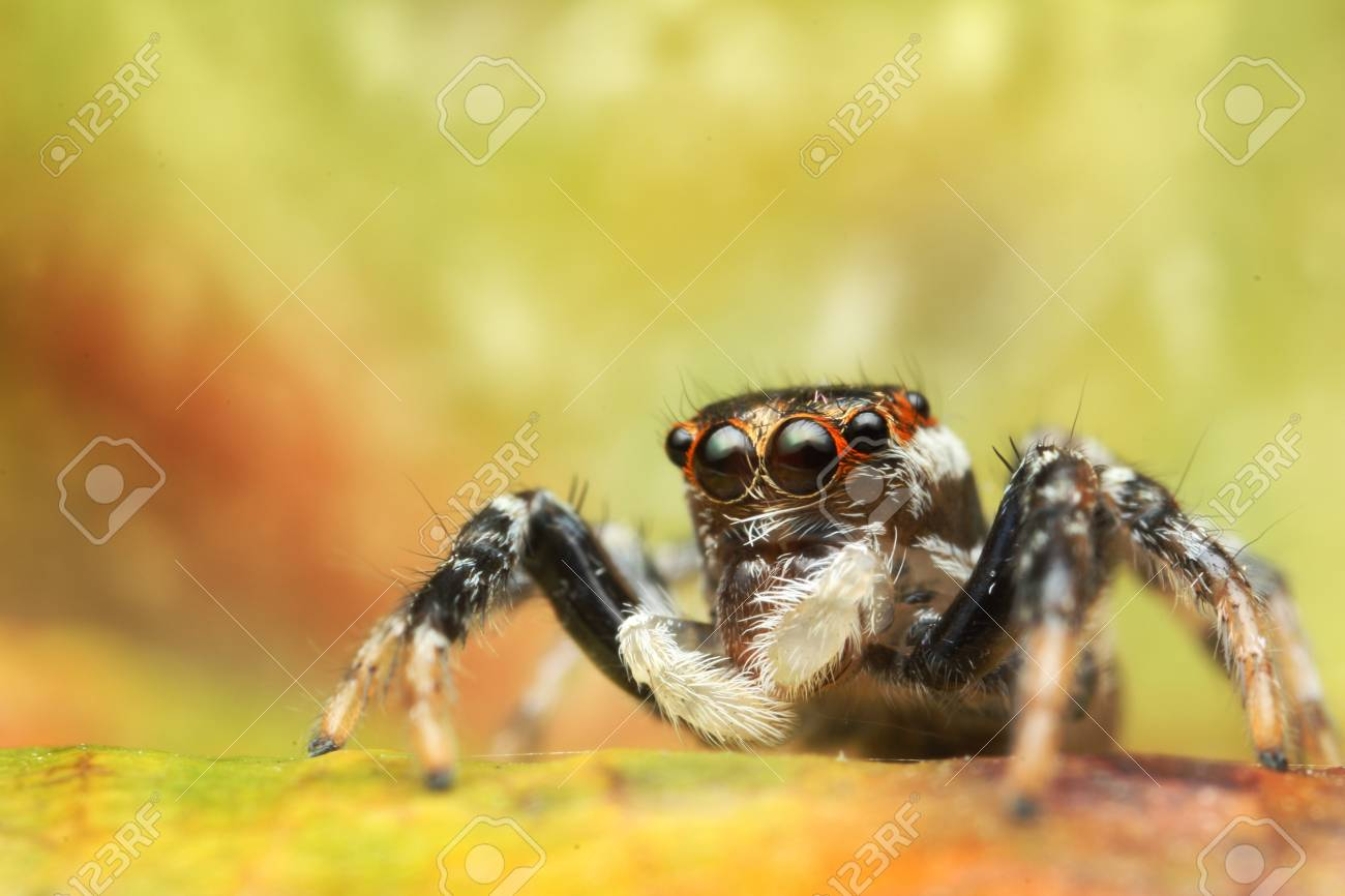 Jumping Spider Stock Photo - 17360763