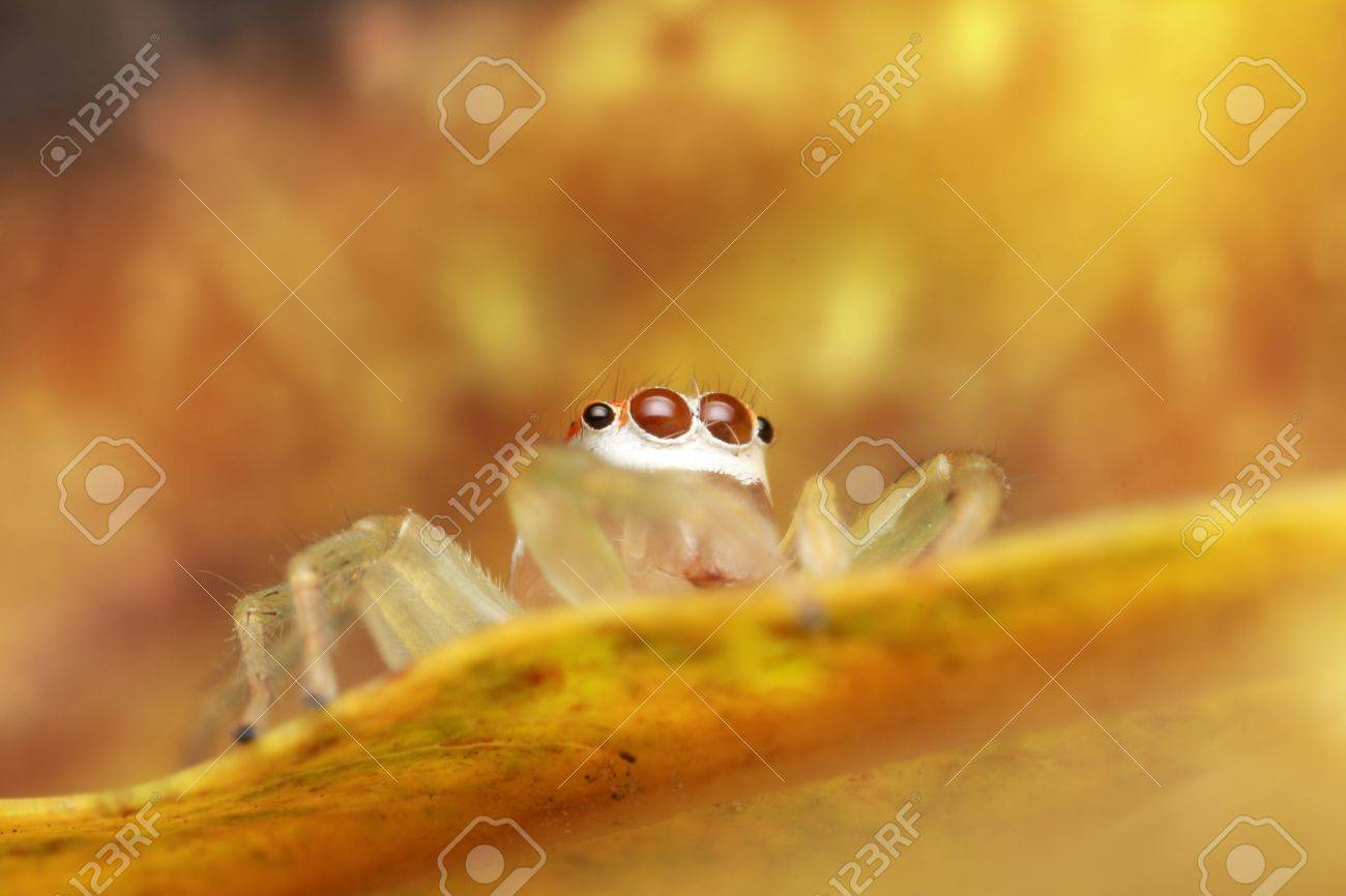Jumping spider yellow Stock Photo - 17360767