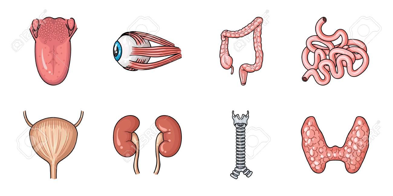 Berühmt Menschliche Weibliche Körperorgane Fotos - Physiologie Von ...