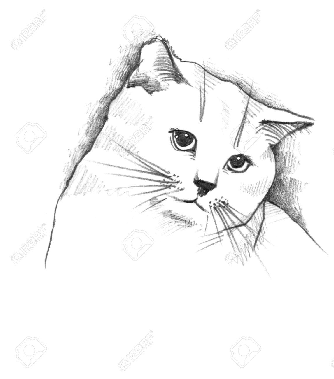 Cat the pencil sketch