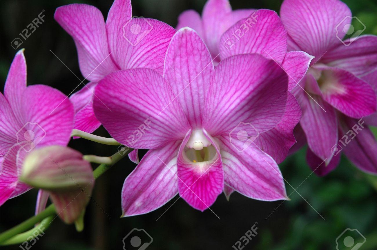 Dendrobium una specie di orchidea dendrobium orchidee sono piante