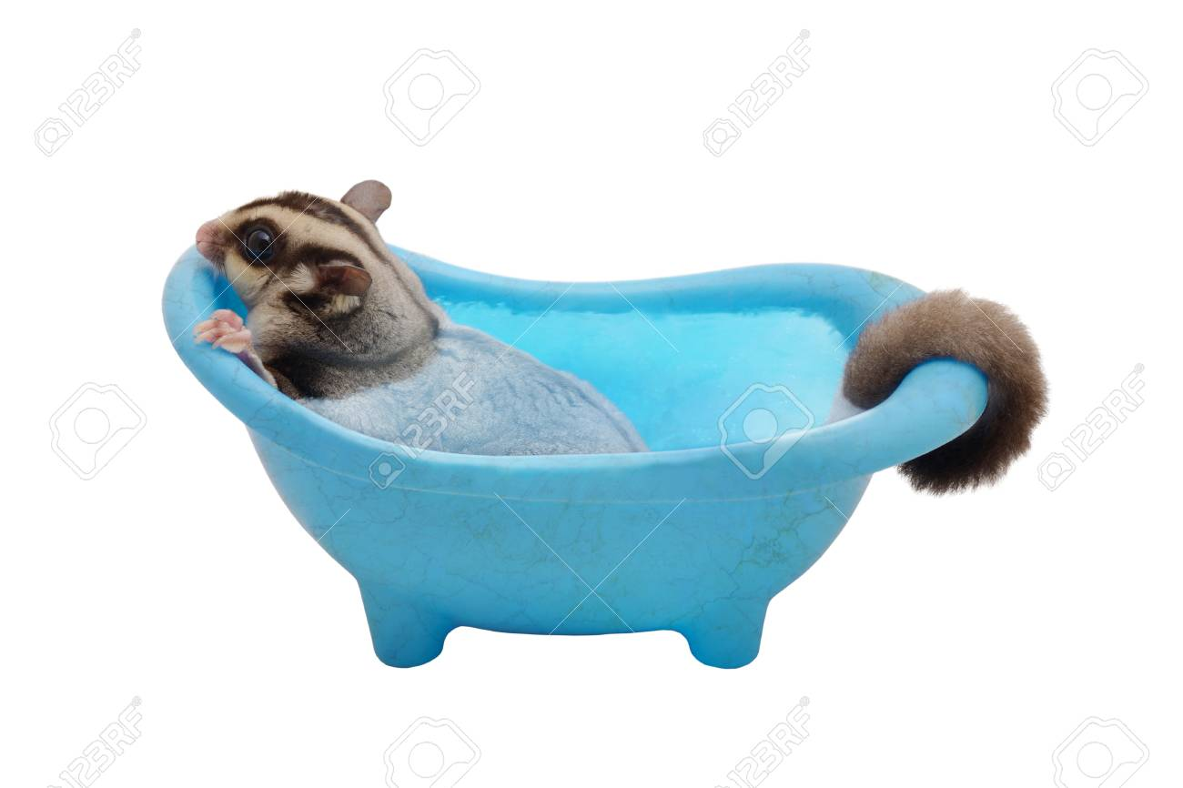 Suger Glider Cleaning Itself By Soaking In Blue Bathtub On White ...