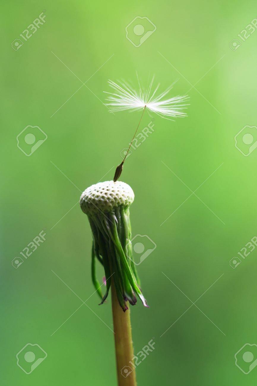 Single seed left on dandelion flower head Stock Photo - 13247633