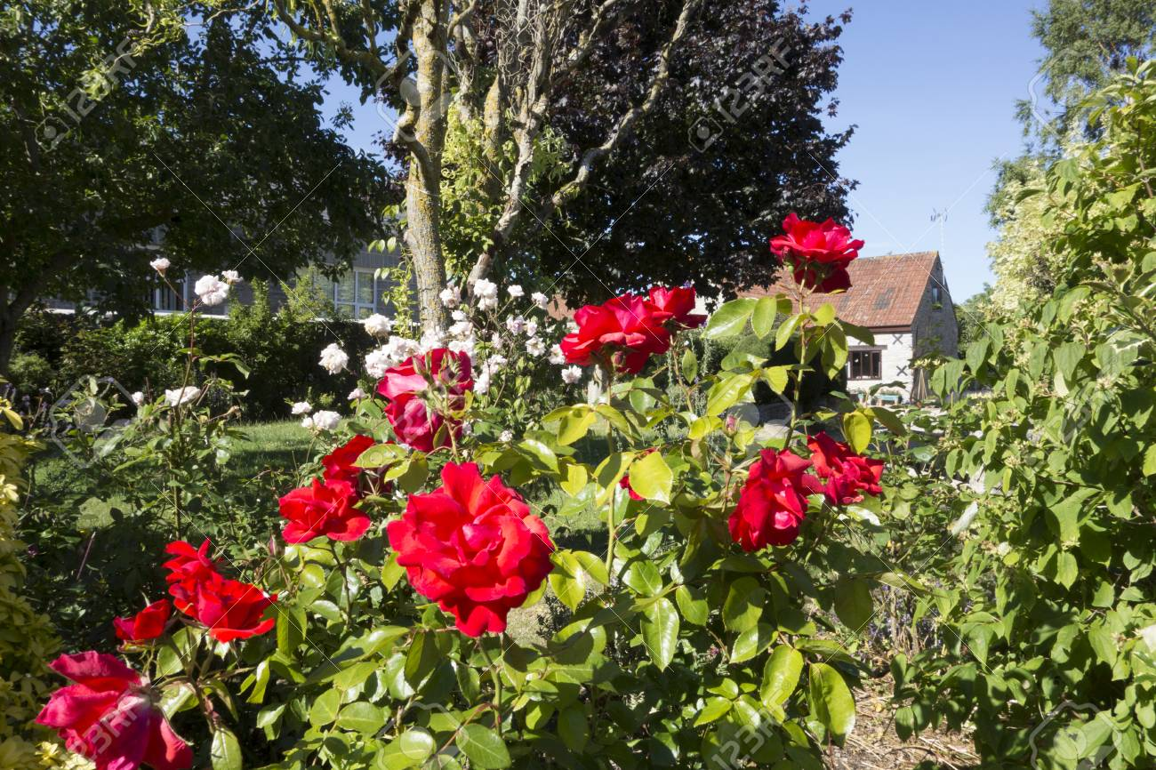 Red Roses In An English Country Garden Stock Photo