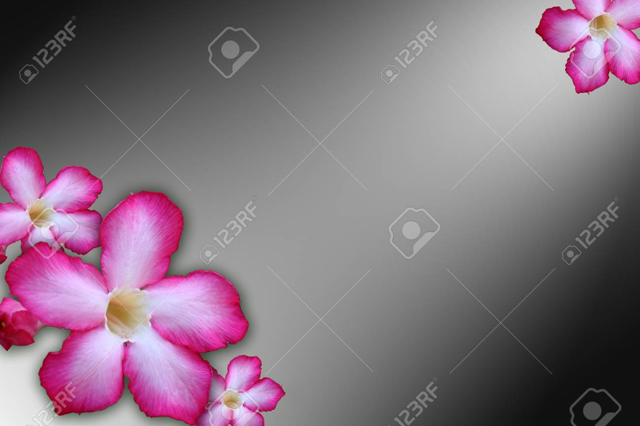 Floral background  Close up of Tropical flower Pink Adenium Stock Photo - 20368020