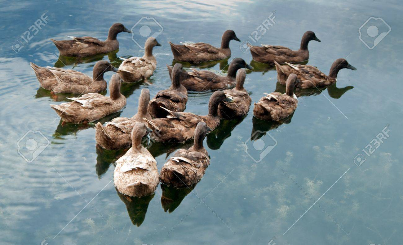 group of duck swimming and seeking for food in the pond stock