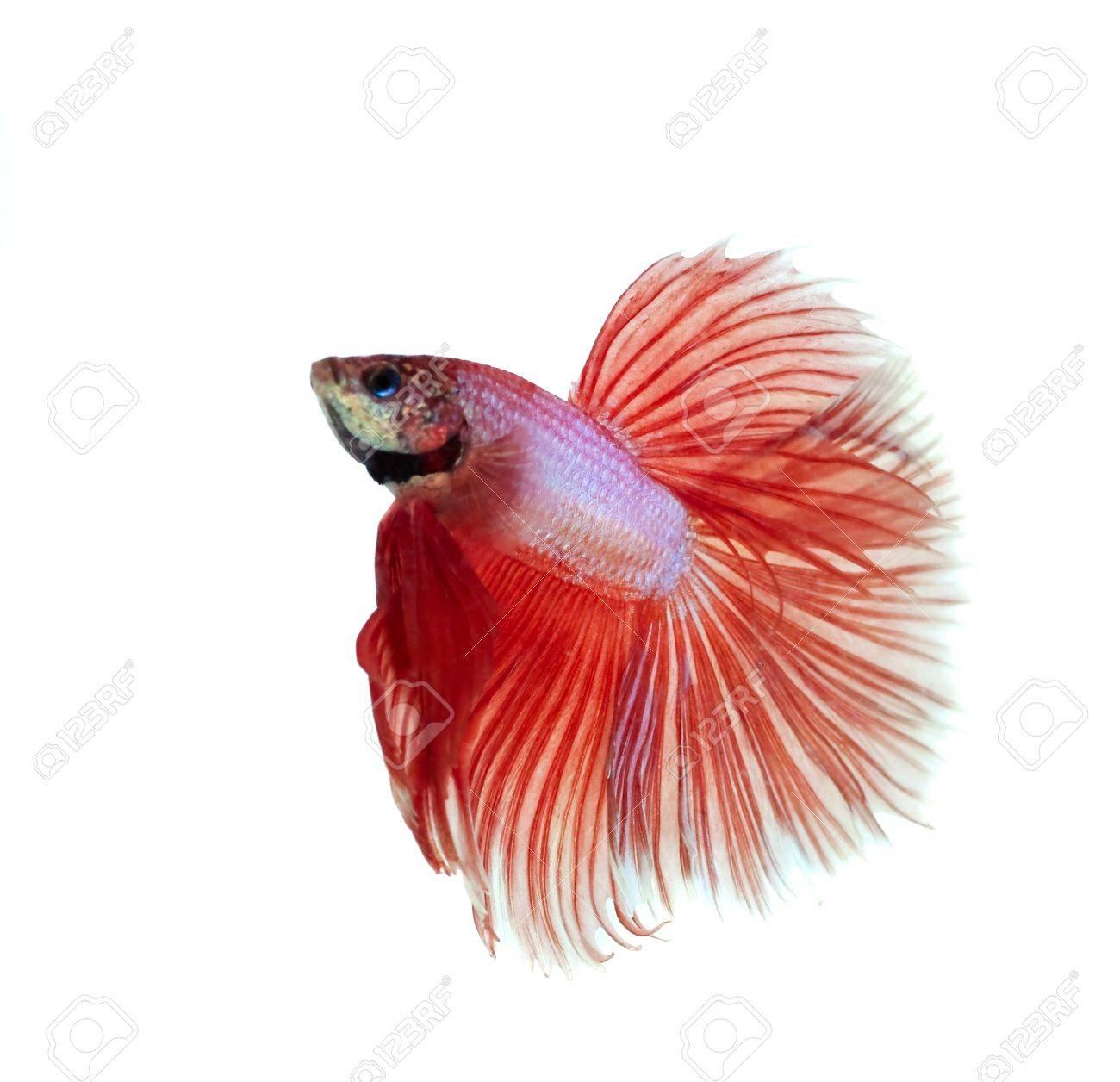 orange siamese fighting fish Stock Photo - 20378926