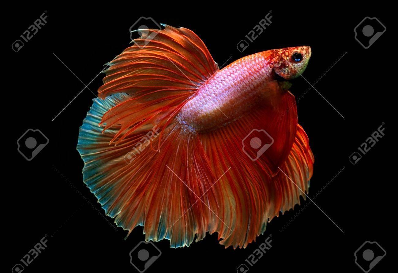 orange siamese fighting fish on black background Stock Photo - 20419437