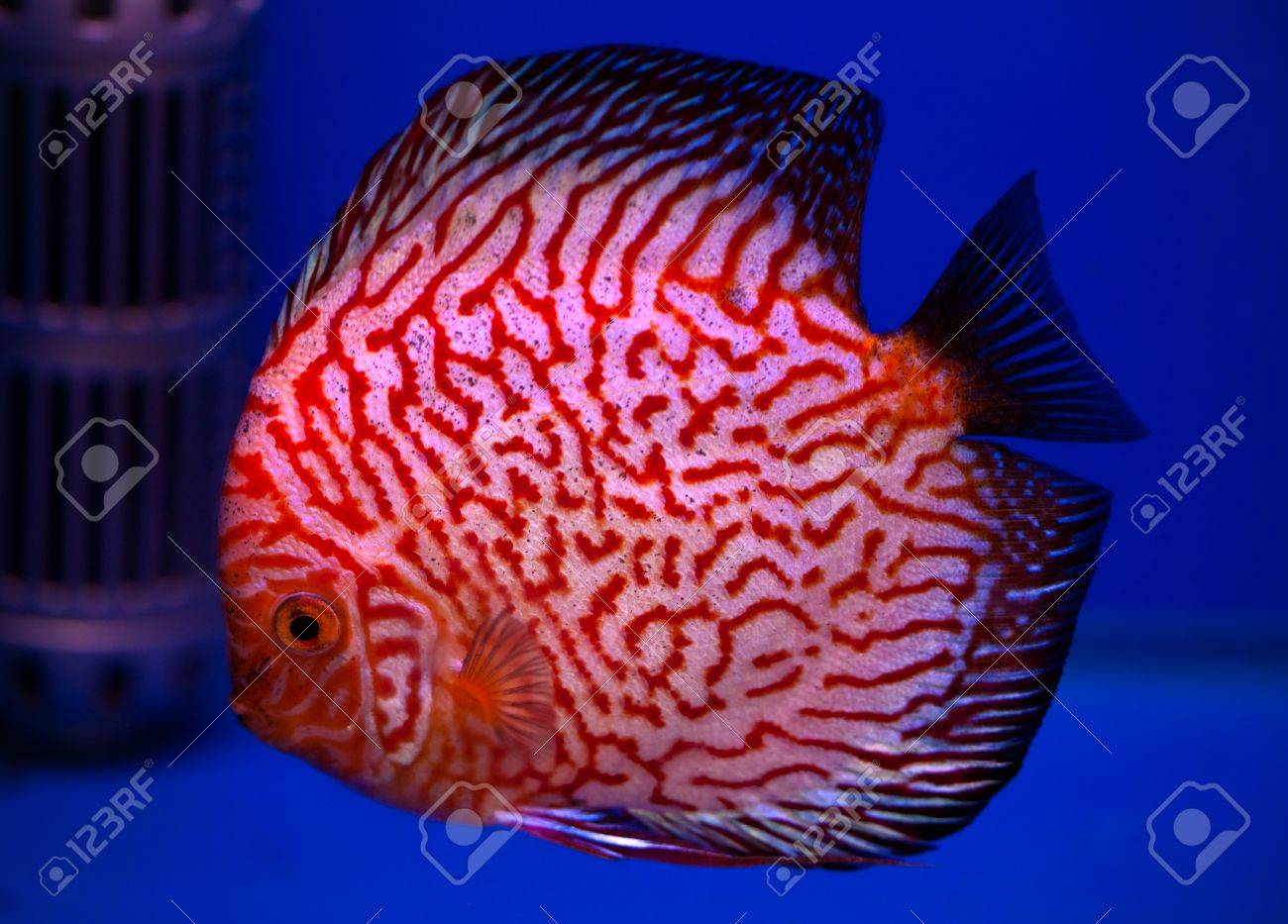 Colorful Pompadour Fish In Blue Fishtank Stock Photo, Picture And ...
