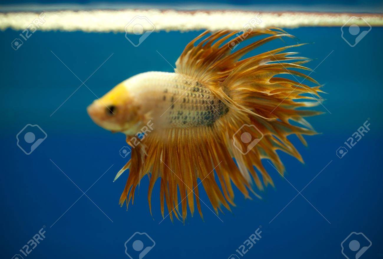 gold color siamese fighting fish focus on his crown tail Stock Photo - 20691321