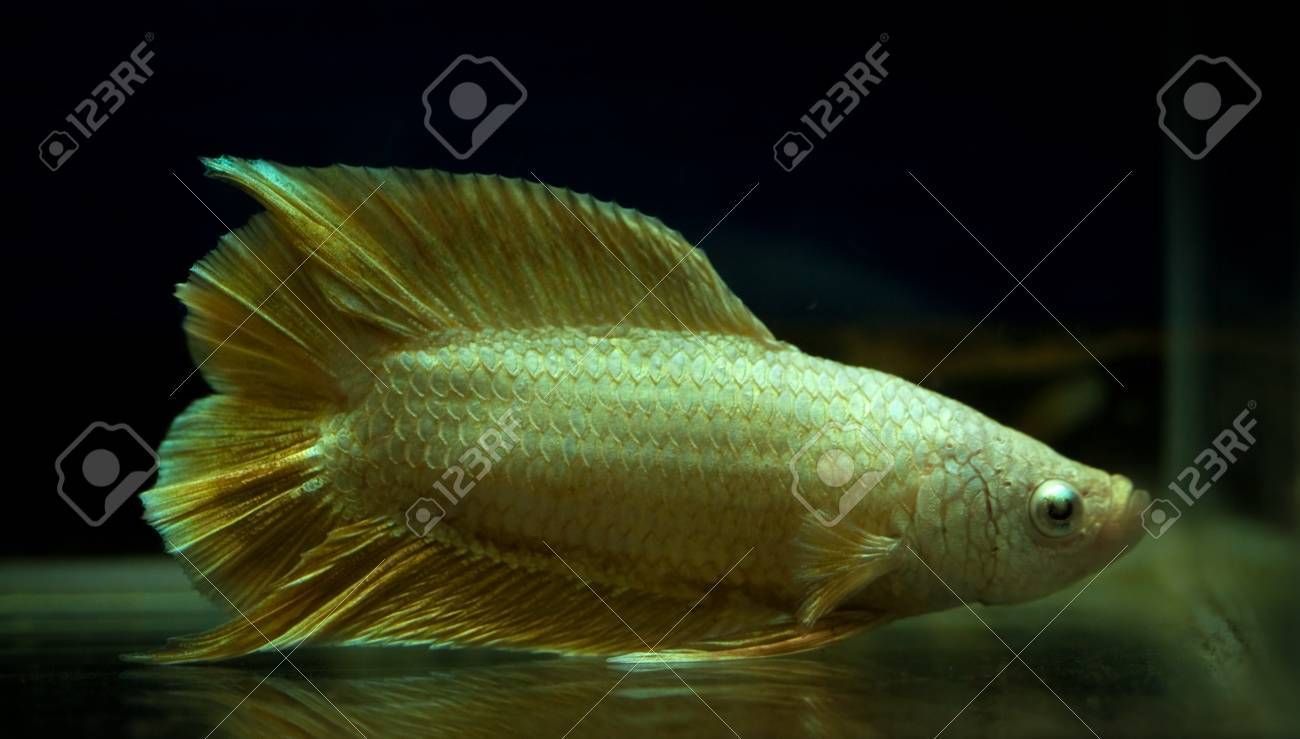 Gold Color Siamese Fighting Fish In Fish Tank Stock Photo, Picture ...