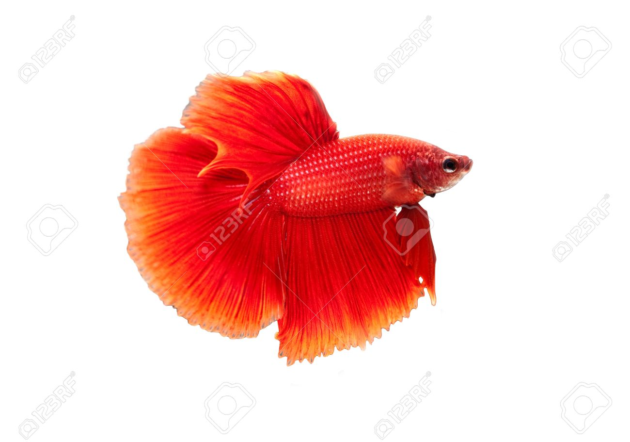 red siamese fighting fish on white background Stock Photo - 21068091
