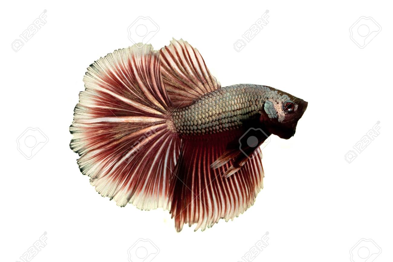 red-silver siamese fighting fish on white background Stock Photo - 21452480