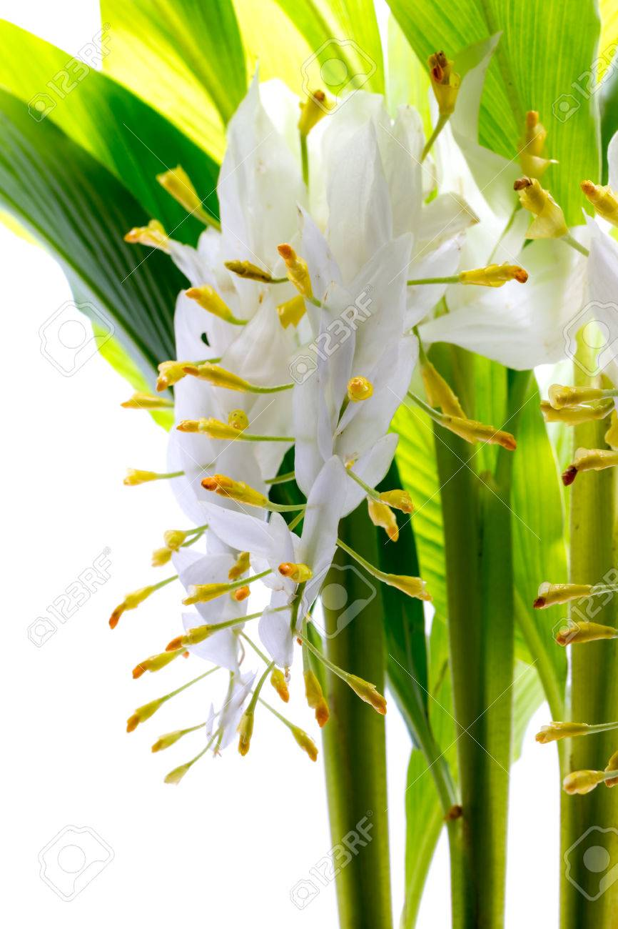 Globba or white dragon flower isolated on white background stock globba or white dragon flower isolated on white background stock photo 62068590 mightylinksfo