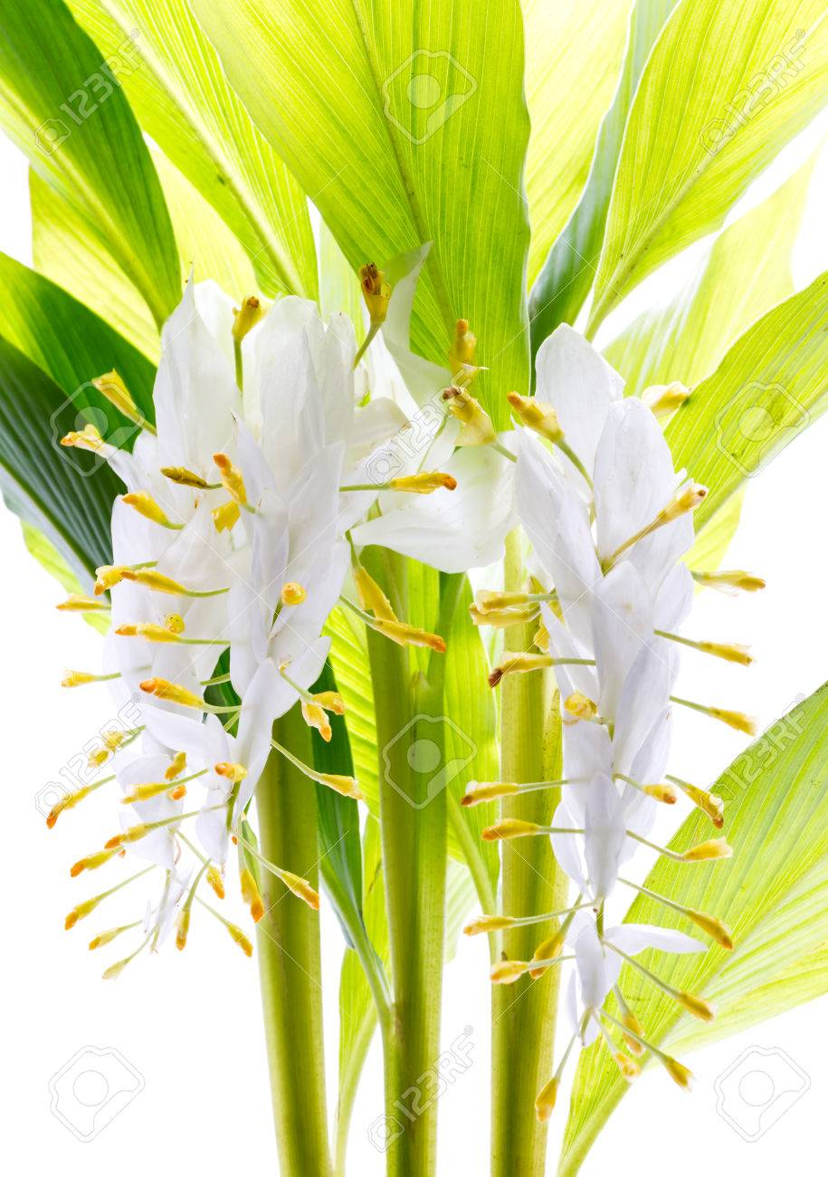 Globba Or White Dragon Flower Isolated On White Background Stock